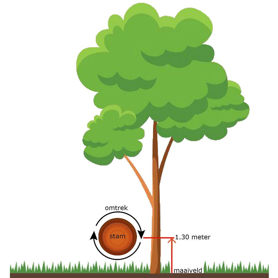 Op deze afbeelding ziet u hoe u de stamomtrek moet meten. Namelijk op 1.30 meter boven het maaiveld.